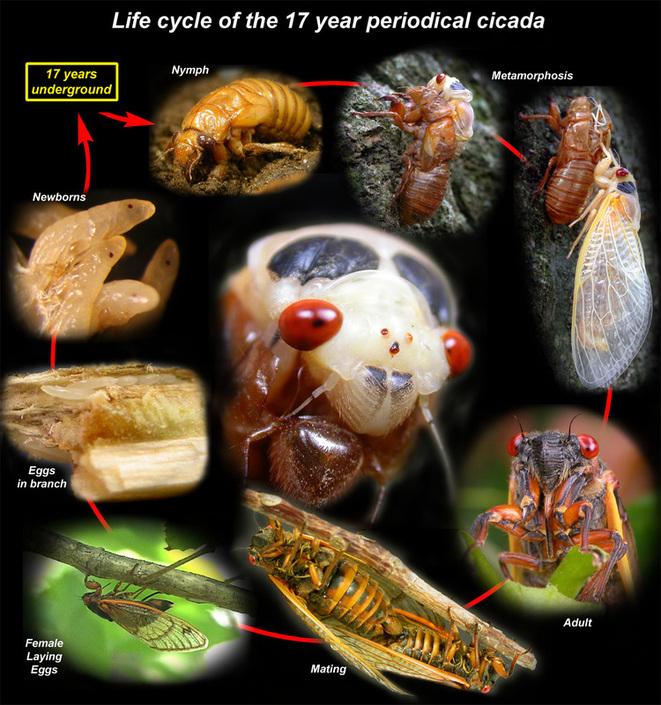 Cicadas Wild Things Grow