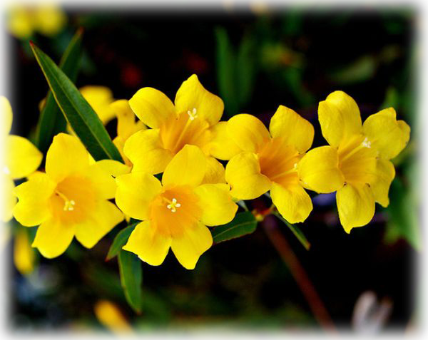 Yellow Jessamine Gelsemium Sempervirens Wild Things Grow