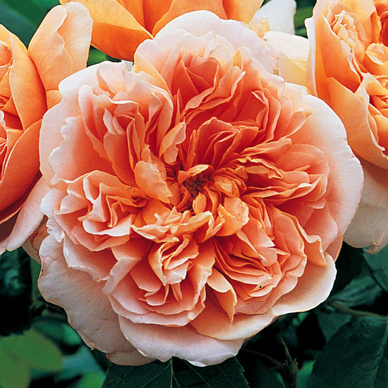 Fragrant Roses For The South